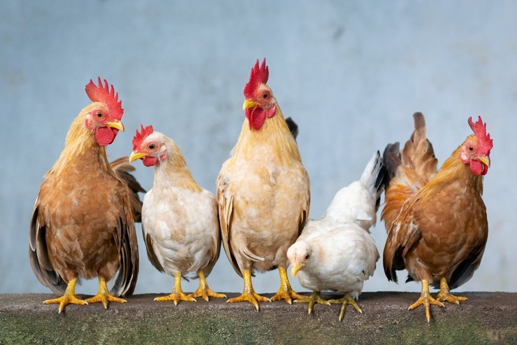 Владельцам садовых участков грозит штраф за разведение кур